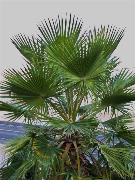 Mexican Palm Care: How to Grow A Mexican Fan Palm In The